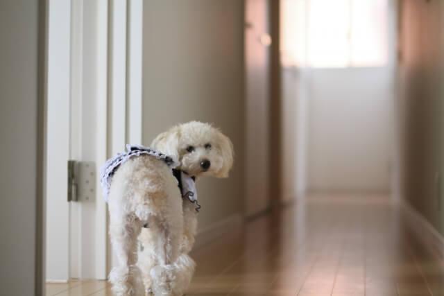廊下を歩く犬
